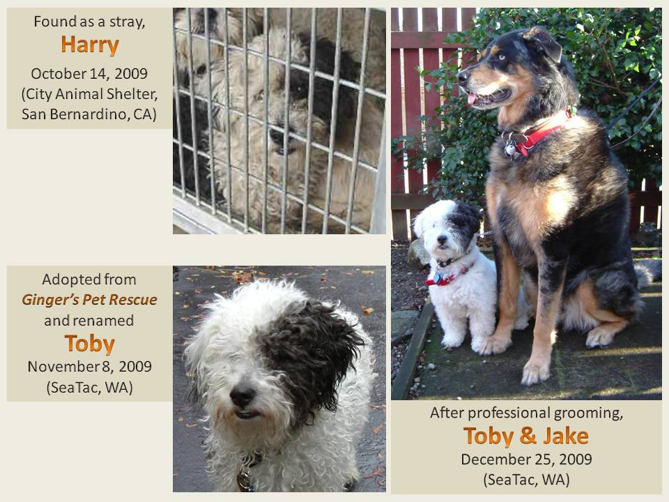 Resources furthermore 628631 in addition Free Spay Neuter Surgeries For Pit Bulls as well Showthread moreover Rottweiler Lab Mix Puppies For Sale. on poodle rescue seattle