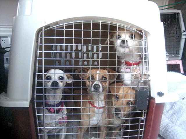 Seattle Kennel Club features Ginger's Pet Rescue