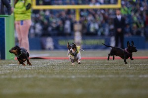 2015 Seahawks Wiener Dog Races